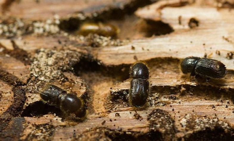 Короед жук борьба в домашних условиях 7