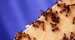 Борьба с домашними муравьями – выбор дезинсектора
