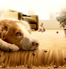 Страдают ли домашние животные (курицы, собаки и коты) от клопов?