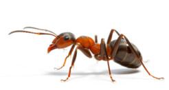 Если в доме появились муравьи